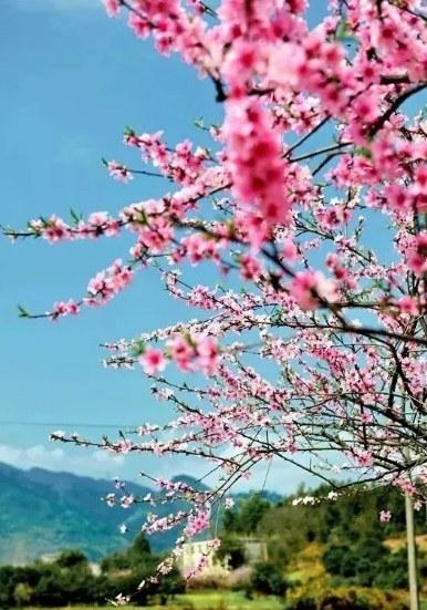 桃花给凤池山添加水粉画,给季节装饰艳阳天.